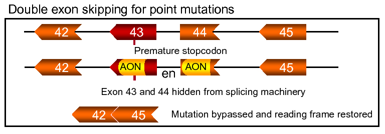 application exonskip double point mutation_figuur 6
